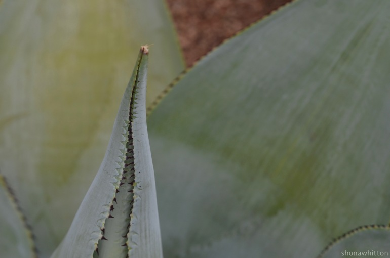 Up close & spikey. Agave plant. Oaxaca.