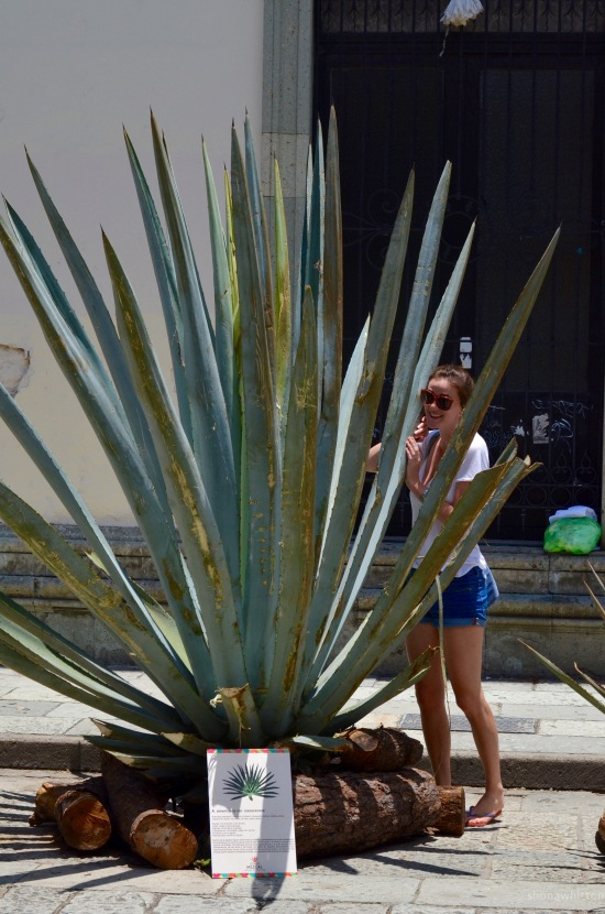 Finally someone taller than me! Street agave exhibition, Oaxaca.