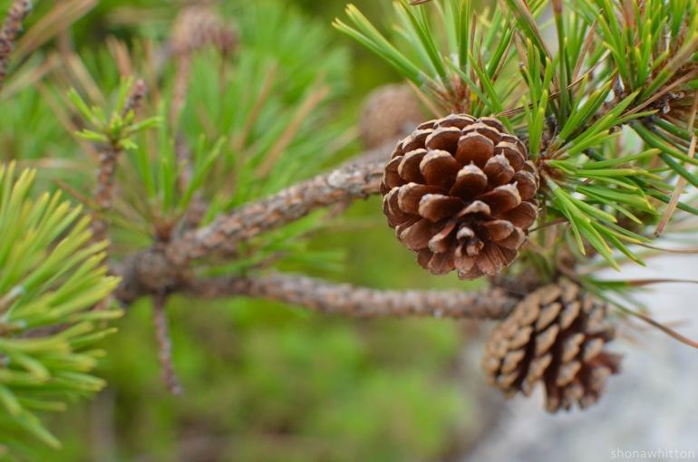 Stunted pitch pine cones. Minnewaska State Park.