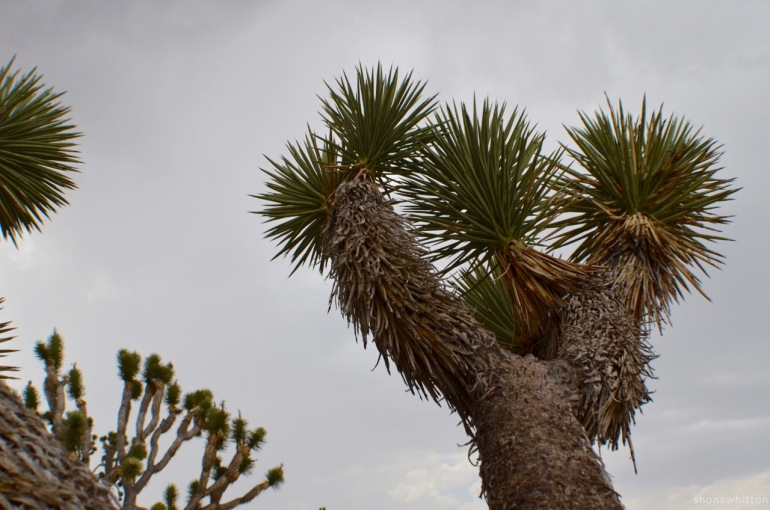 Just one more....Joshua Tree. Hualapai Indian Reservation, Mohave County, Arizona.