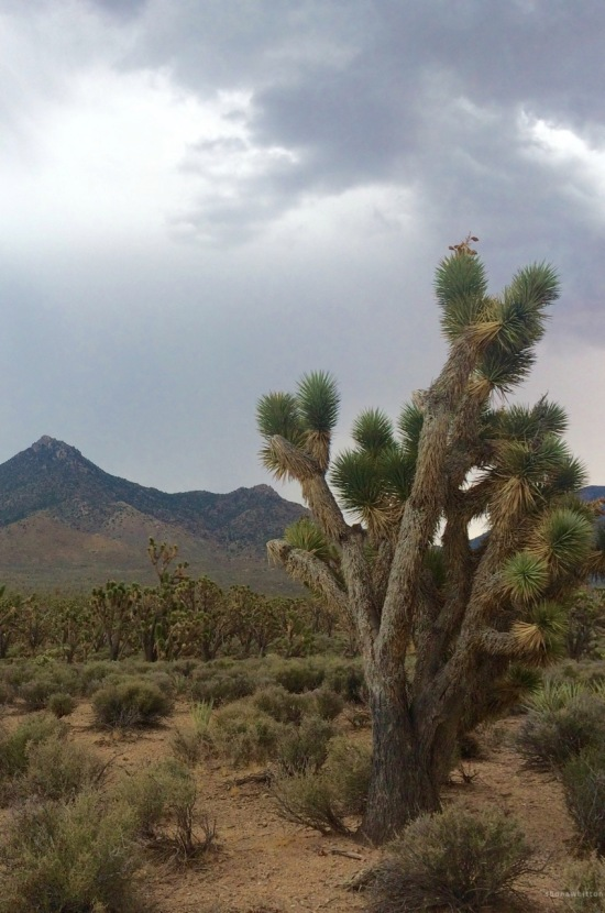 A forest of excitement for this cacti lover. Joshua Tree Forest, Hualapai Indian Reservation, Mohave County, Arizona.